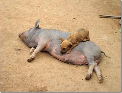 porco-e-cachorro